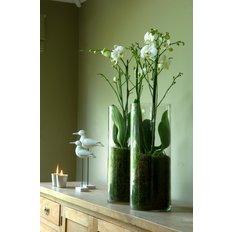 Phalaenopsis Double White