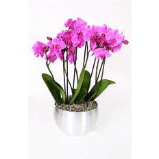 Purple Luxury Phalenopsis