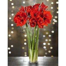 Amaryllis Rosso