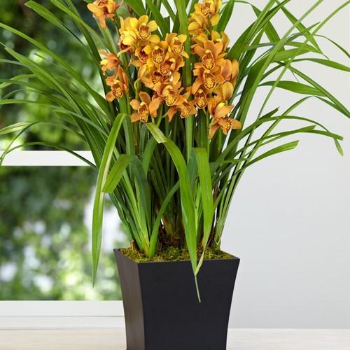 Orchidea cymbidium in vaso 236 - Vaso in gres per orchidee ...