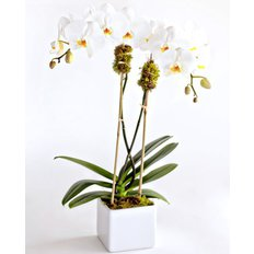 Double Stem Orchide