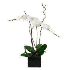 Phalenopsis in vaso ceramica